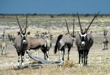Gemsbok (Oryx) at Nebrownii