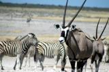Gemsbok and zebra at Nebrownii