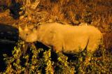 Like Okaukuejo, the floodlit waterhole at Halali is an excellent place to see Black Rhino