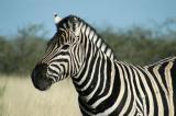 Plains Zebra, Etosha