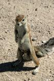Cape ground squirrel - certainly a male