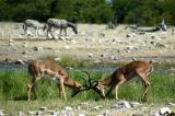A pair of male impalas sparring at Goas waterhole