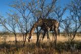 Giraffe bending down to pick up a bone
