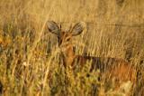 Steenbok in tall grass