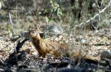 Slender mongoose on the side of the Namutoni-Tsumeb road