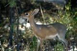 Damara Dik Diks are common along the main road from Namutoni to the Von Lindequist Gate
