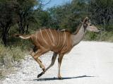 Female Greater Kudu bolting across the road