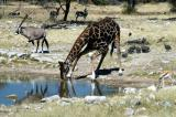 Giraffe drinking at Groot Okevi with Oryx and Springbok