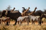 Tsumcor waterhole busy with elephant, giraffe and zebra