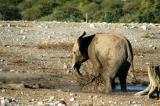 Baby elephant playing in the mud, Klein Namutoni