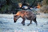 Spotted hyena at Klein Namutoni