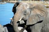 Elephant at Halali waterhole