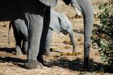 Baby elephant eating elephant poo