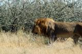 Finally, a pair of big male lions just south of the main park road on the side road to Gemsbokvlakte