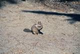 Squirrel, Yosemite National Park