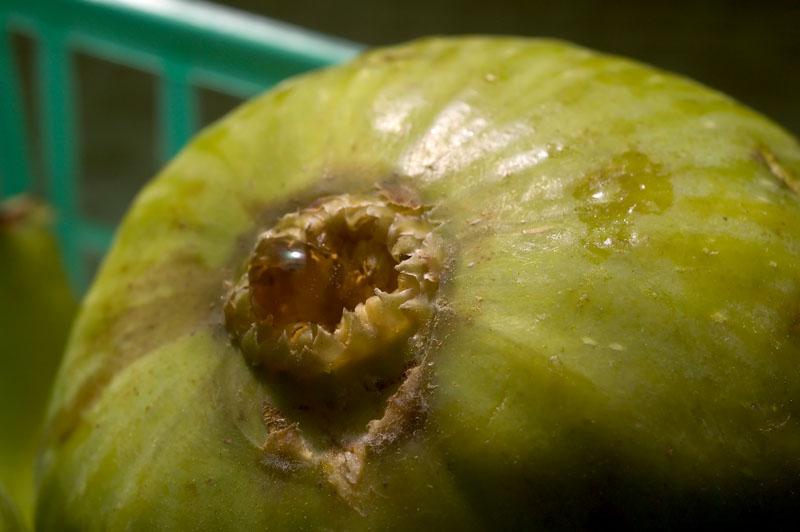 fig (macro)