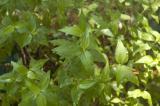 rau ram (vietnamese cilantro)