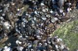 wild mussels