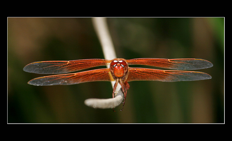 Red Dragonfly a