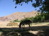 The ubiquitous donkey