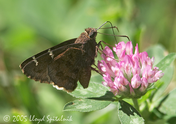 Southern Cloudywing
