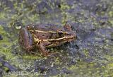 Southern Leopard Frog (brown form)