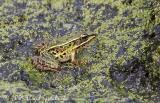 Southern Leopard Frog (green form)