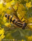 Syrphid (Hover ) Fly