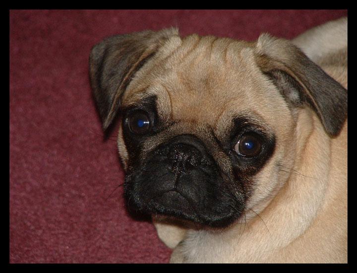 Mommy Pug