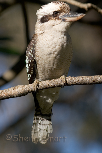 Kookaburra or laughing jackass