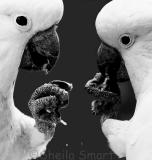 Pair of cockatoos