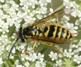 Vespula flavopilosa (female)