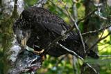 Bald Eagle - Haliaeetus leucocephalus (immature)