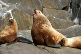 Northern (Steller) Sea Lion - Eumetopias jubatus