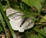 Arctic White - Pieris angelika