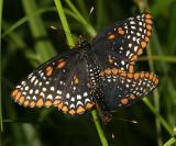 Baltimore Checkerspot - Euphydryas phaeton mating
