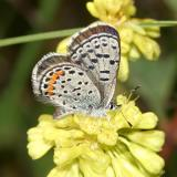 Rocky Mountain Dotted-Blue - Euphilotes ancilla