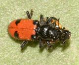 Enoclerus spinolai (eating a lady beetle)