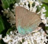 Bramble Hairstreak - Callophrys dumetorum affinis
