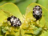 Anthrenus lepidus
