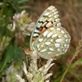 Callippe Fritillary - Speyeria callippe meadii