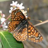Anicia Checkerspot - Euphydryas anicia capella