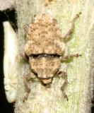 Trichosirocalus horridus