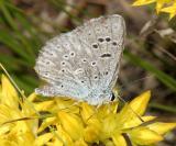 Boisduval's Blue - Plebejus icarioides