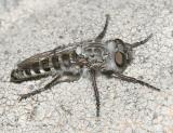 Heteropogon/Holopogon sp.