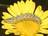 Heliothis sp.