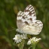 Checkered White - Pontia protodice
