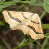 6852 - Eriplatymetra coloradaria
