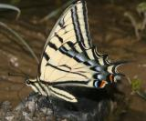 Two-tailed Swallowtail - Papilio multicaudata