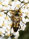Typocerus octonotatus